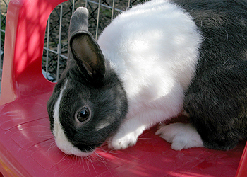 Cute black and white rabbit