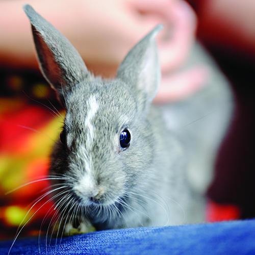 rabbitonlap